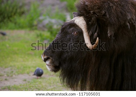 portrait of an angry musk ox with big horns