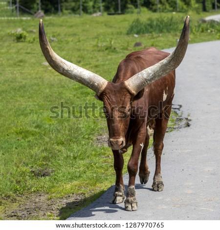 Portrait of an Ankole-Watusi cattle at Parc Safari in Hemmingford, Quebec, Canada. #1287970765