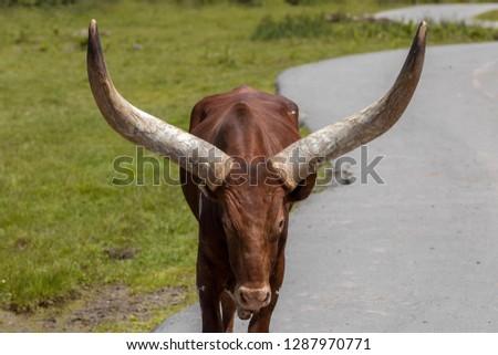 Portrait of an Ankole-Watusi cattle at Parc Safari in Hemmingford, Quebec, Canada. #1287970771