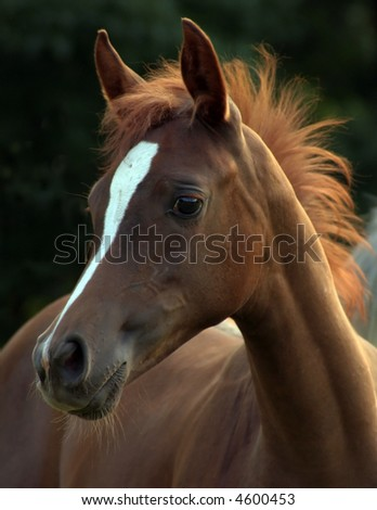 Portrait of an arabian foal