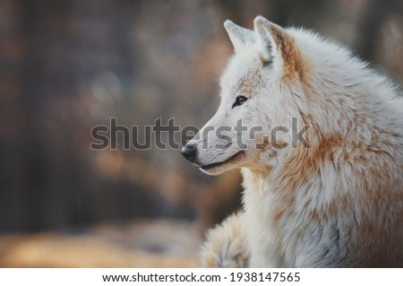 Portrait of an arctic wolf (Canis lupus arctos), also known as the white wolf or polar wolf. Сток-фото ©