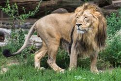 Portrait of an Asian lion
