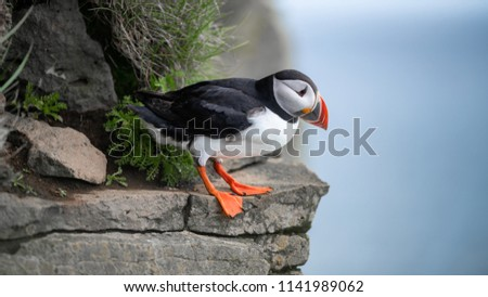 Portrait of an Atlantic puffin. Sea bird standing on a cliff in nature on the Latrabjarg cliffs in West Fjords, Iceland. Home to millions of puffins.