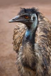 portrait of an australian big bird Emu
