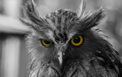 portrait of an color owl's sharp eyes looking at the camera isolated on black and white other owl's body. Owl looks angry or uncomfortable.