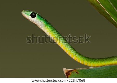 Portrait of an eastern green snake (Philothamnus natalensis), South Africa