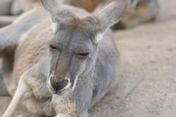 Portrait of an Eastern grey kangaroo (Macropus giganteus), resting on ground