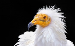 Portrait of an egyptian vulture (Neophron percnopterus) isolated with a black background. White scavenger vulture or pharaoh's chicken. Close up of an egyptian and south european bird of prey, Spain.