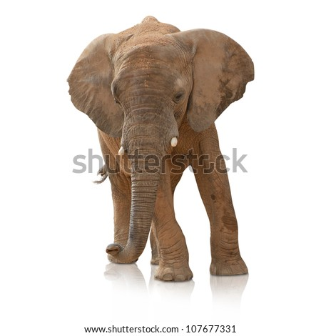 Portrait Of An Elephant Bull On White Background