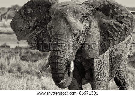 Portrait of an Elephant in black and white, front view