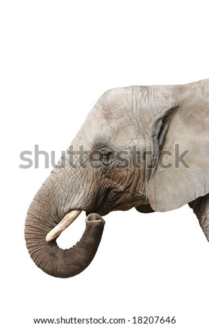 portrait of an Elephant - Isolated on white background