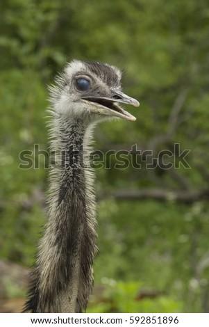 Shutterstock Portrait of an Emu, an australian ratite
