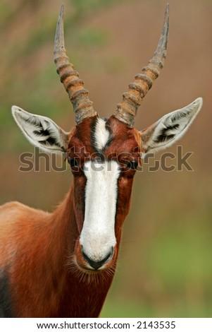 Portrait of an endangered bontebok antelope (Damaliscus pygargus dorcas), South Africa