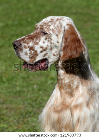 Portrait of an English Setter on the green grass