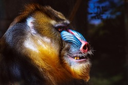 portrait of an enraged mandrill