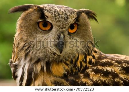 Portrait of an Eurasian Eagle Owl (Bubo Bubo Hispanus).