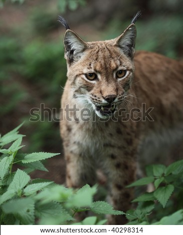 Portrait  of an Eurasian Lynx (Lynx lynx)