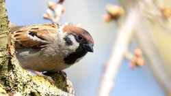 Portrait of an Eurasien Tree Sparrow (passer montanus) perched on brown branch during spring in Germany