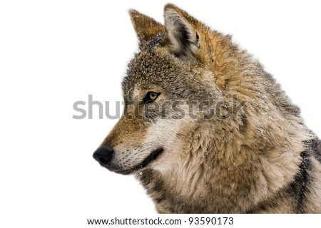 Portrait of an European grey wolf (Canis lupus lupus) isolated