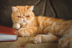 Portrait of an exotic cat that lies on a sofa in a room. Indoors Horizontal format. Low contrast. Vignette. Color. Photo.