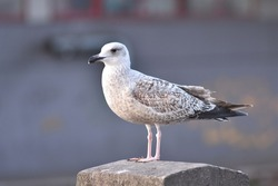 Portrait of an immature herring gull (Larus argentatus)