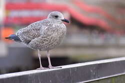 Portrait of an immature herring gull (Larus argentatus), blurred urban background