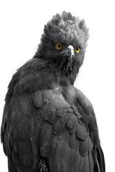 Portrait of an impressive Black-Hawk Eagle isolated, spizaetus tyrannus