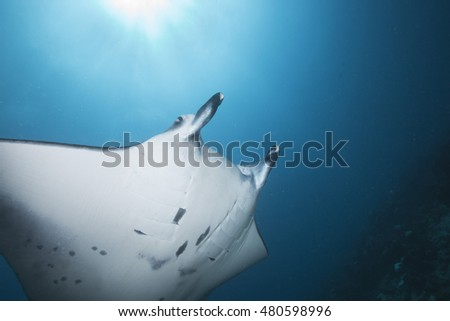 Portrait of an impressive Manta ray (Manta birostris) at a tropical offshore coral reef cleaning station, in the popular holiday destination of the Maldives Islands #480598996