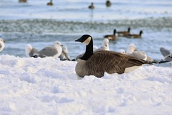 Portrait of an isolated Canada Goose nestled in the snow by the lake in winter at Oshawa harbour in Lakeview Park