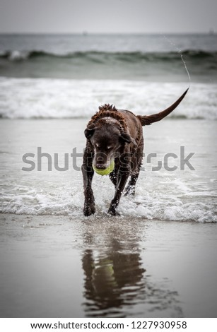 Portrait of an older chocolate Labrador playing in the surf with spray coming off wagging tail. #1227930958