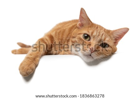 Portrait of an orange tabby cat domestic shorthair laying down on a white background with paw draped over a table Foto d'archivio ©