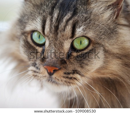 Portrait of an ordinary house cat closeup