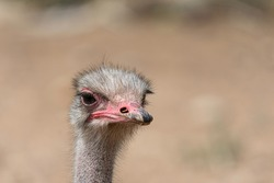 portrait of an ostrich in the field