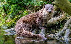 Portrait of an otter, UK