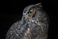 Portrait of an owl in profile isolated on a black background. The great horned owl, also known as the tiger owl or the hoot owl .(Bubo virginianus)