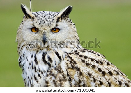 portrait of an sitting eagle owl, glue