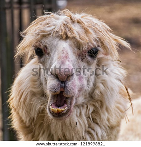 Portrait of an ugly alpaca (Vicugna pacos) #1218998821