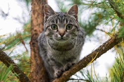 Portrait of an young color cat on a pine tree, Russia