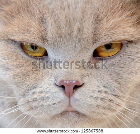 Portrait of angry cat close-up