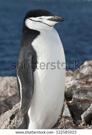 Portrait of Antarctic penguin (Pygoscelis antarctica) against the ocean.