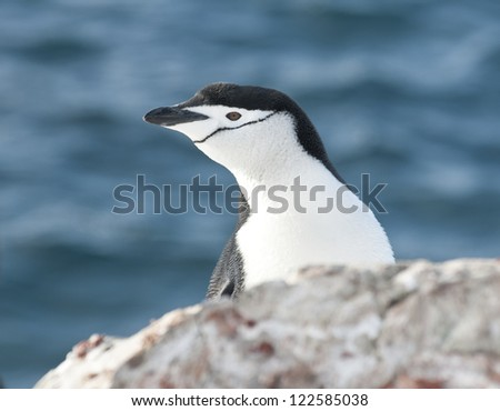 Portrait of Antarctic penguin (Pygoscelis antarctica) looking out over the cliff.