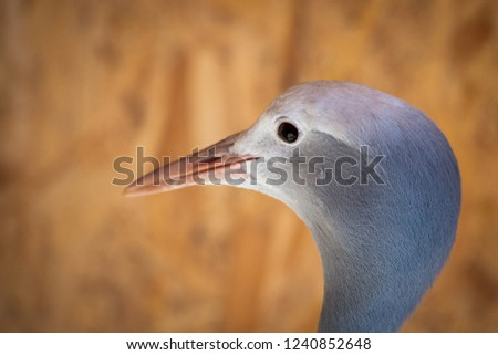 Portrait of Anthropoides paradise or Blue crane, also known a the Stanley or Paradise crane