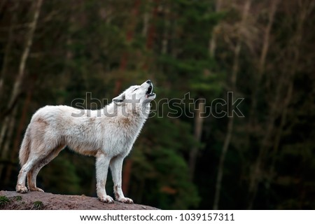 Portrait of Arctic wolf.