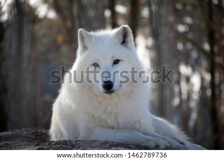 Portrait of arctic wolf in winter. Canis lupus arctos. Сток-фото ©