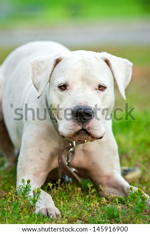 Portrait of argentinian dog on lawn in summer