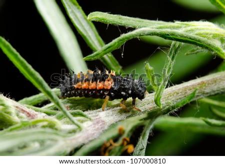 portrait of asian lady beetle larva