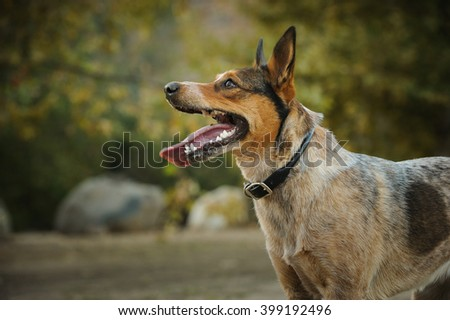Portrait of Australian Stumpy Tail Cattle Dog in natural environment Foto stock ©