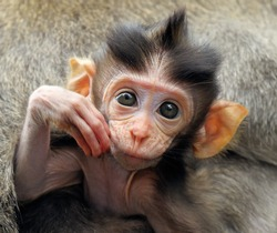 Portrait of baby Balinese macaques