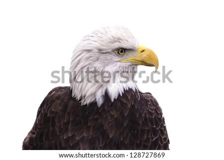 Portrait of Bald Eagle isolated on white