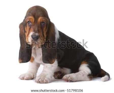 Portrait of basset-haund puppy on gray